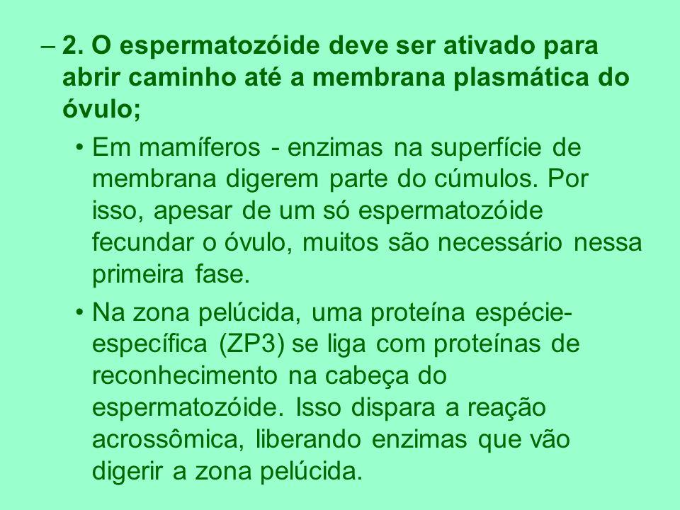 2. O espermatozóide deve ser ativado para abrir caminho até a membrana plasmática do óvulo;