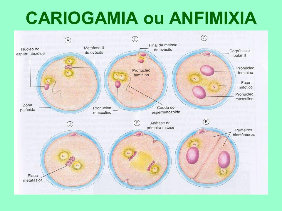 CARIOGAMIA ou ANFIMIXIA