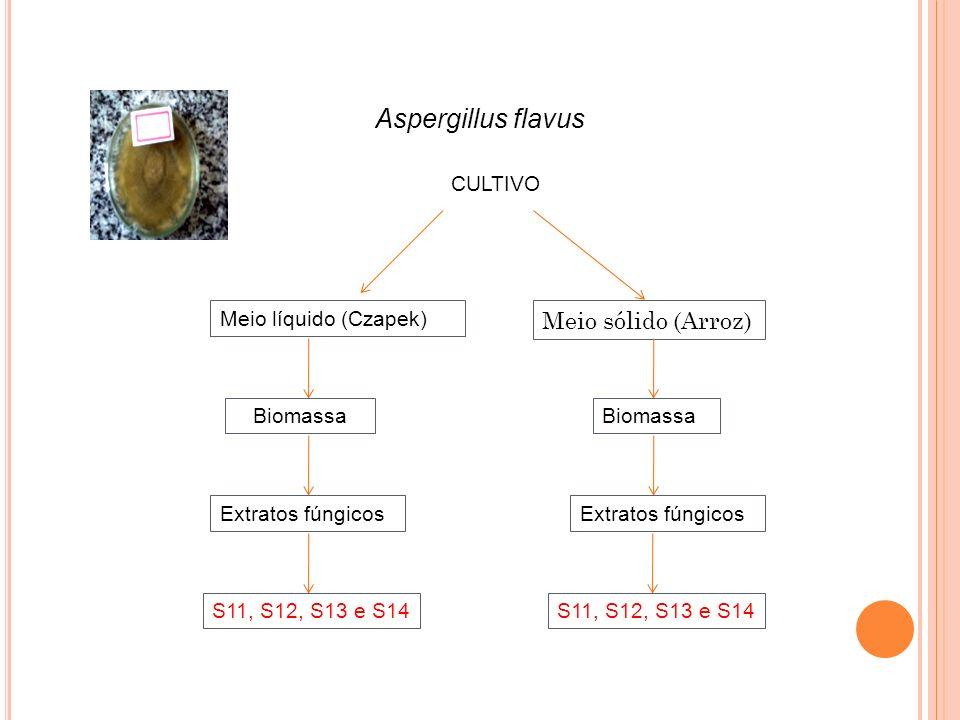 Aspergillus flavus Meio sólido (Arroz) CULTIVO Meio líquido (Czapek)