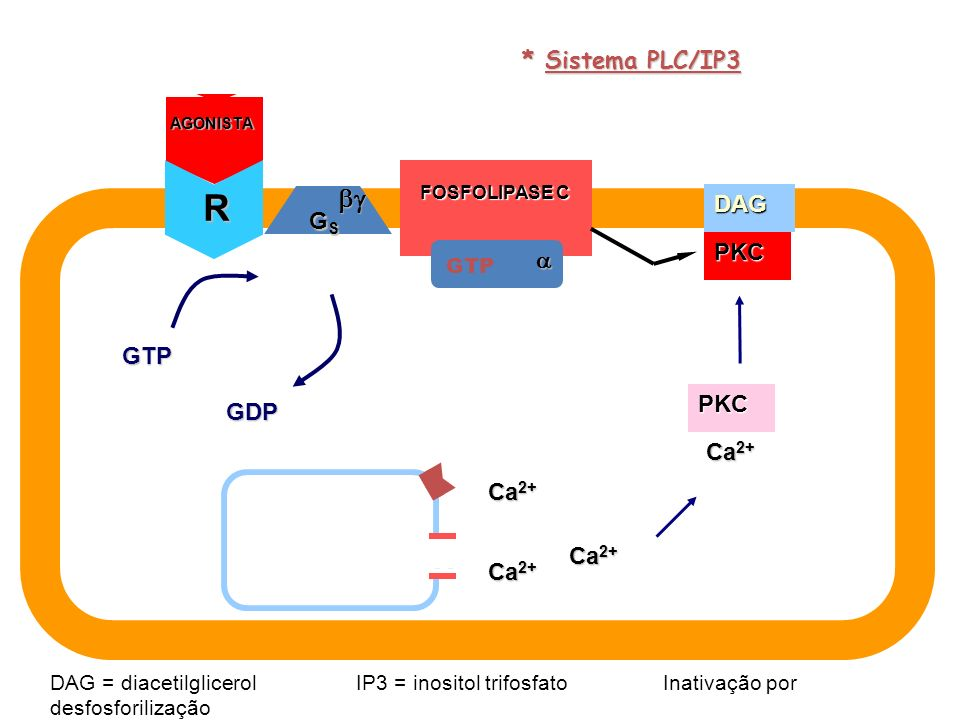 R  X * Sistema PLC/IP3 GS DAG   PKC IP3 GTP GTP (+) PKC GDP IP3