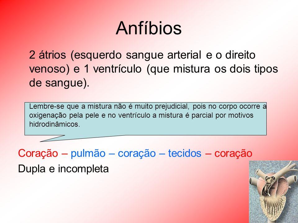 Anfíbios 2 átrios (esquerdo sangue arterial e o direito venoso) e 1 ventrículo (que mistura os dois tipos de sangue).