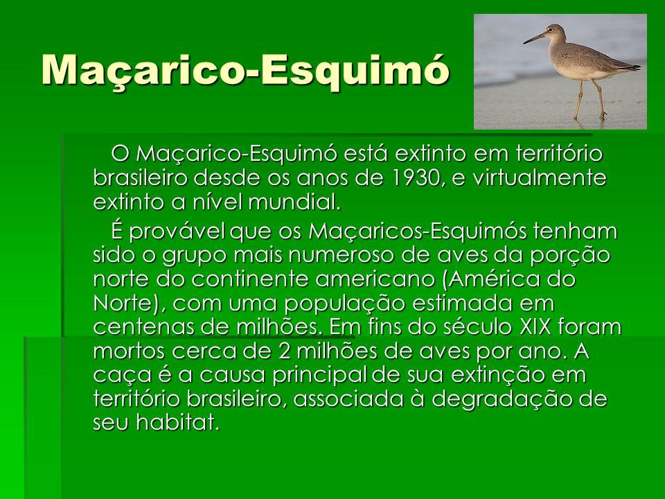 Maçarico-Esquimó O Maçarico-Esquimó está extinto em território brasileiro desde os anos de 1930, e virtualmente extinto a nível mundial.