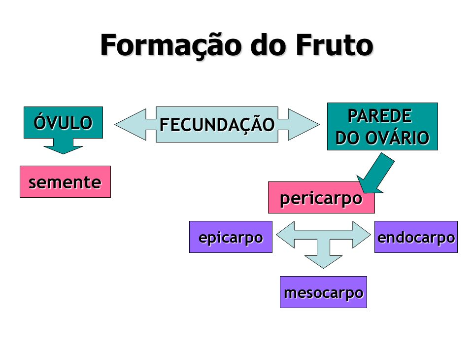 Formação do Fruto PAREDE ÓVULO FECUNDAÇÃO DO OVÁRIO semente pericarpo