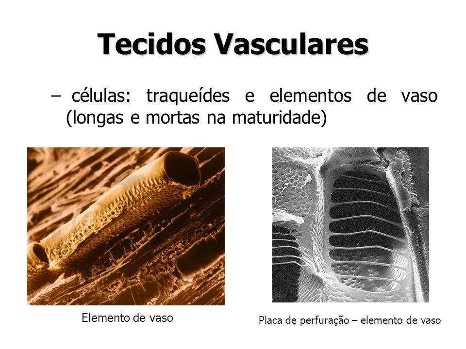 Tecidos Vasculares células: traqueídes e elementos de vaso (longas e mortas na maturidade) Elemento de vaso.
