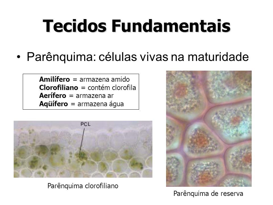 Tecidos Fundamentais Parênquima: células vivas na maturidade
