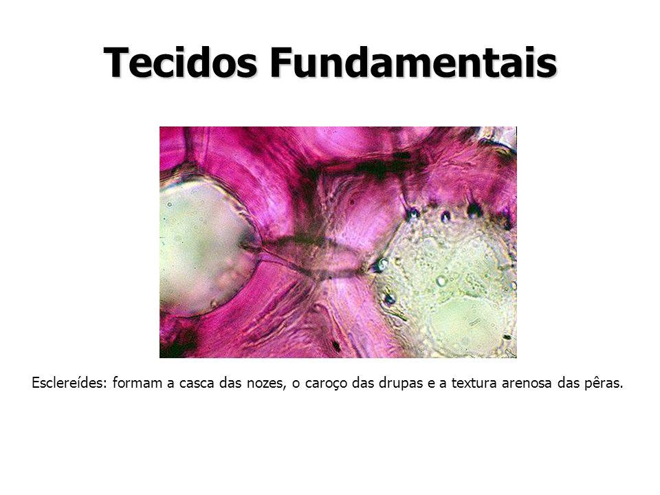 Tecidos Fundamentais Esclereídes: formam a casca das nozes, o caroço das drupas e a textura arenosa das pêras.