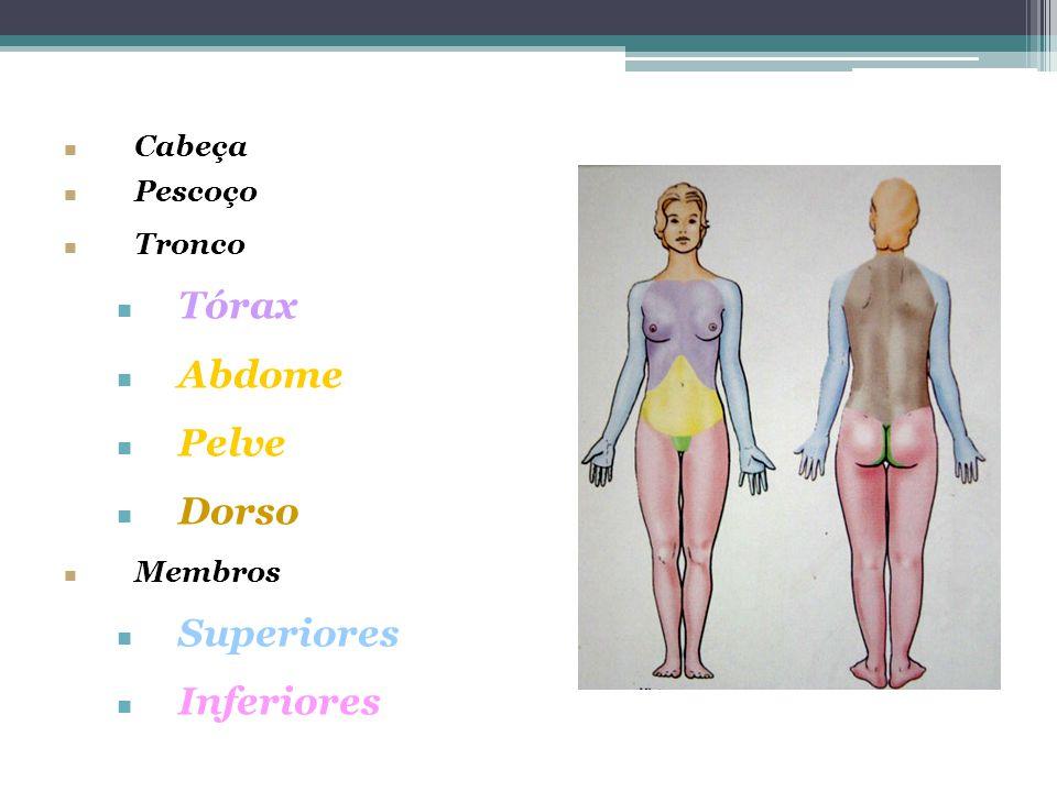 Tórax Abdome Pelve Dorso Superiores Inferiores Cabeça Pescoço Tronco