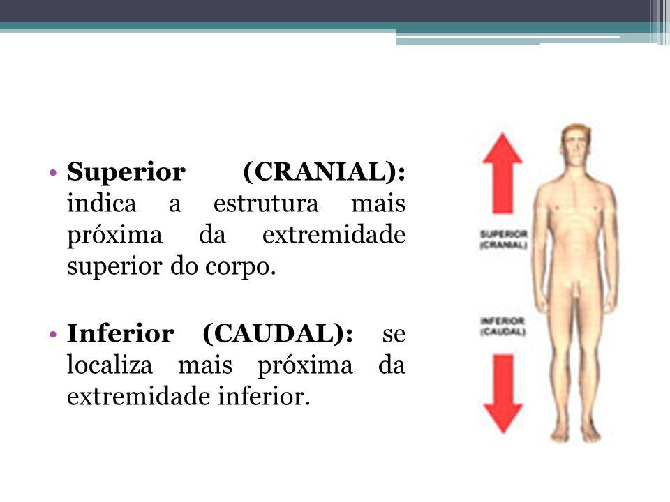 Superior (CRANIAL): indica a estrutura mais próxima da extremidade superior do corpo.