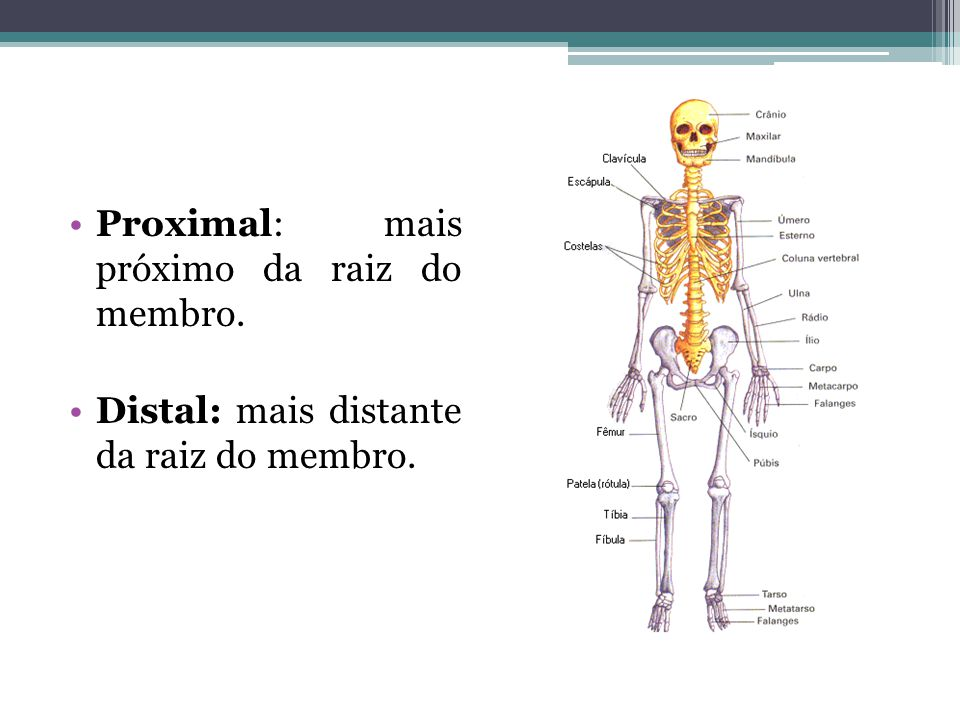 Proximal: mais próximo da raiz do membro.