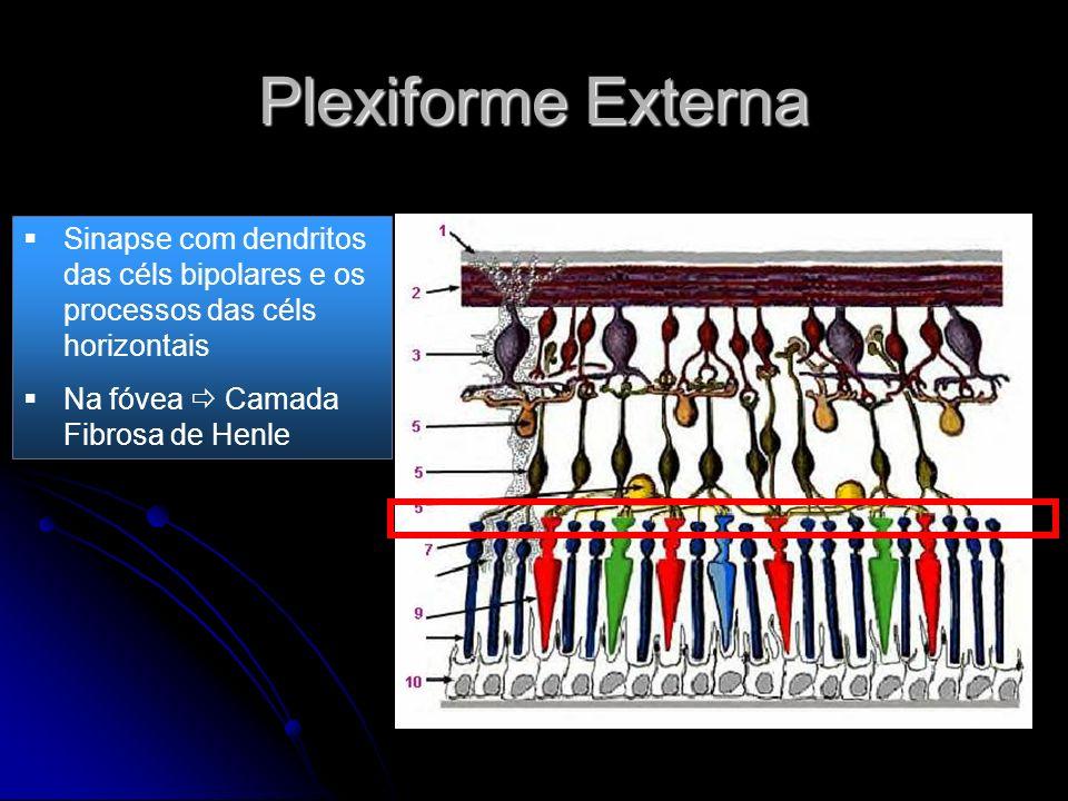Plexiforme Externa Sinapse com dendritos das céls bipolares e os processos das céls horizontais.