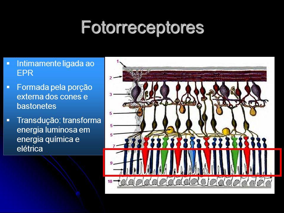 Fotorreceptores Intimamente ligada ao EPR