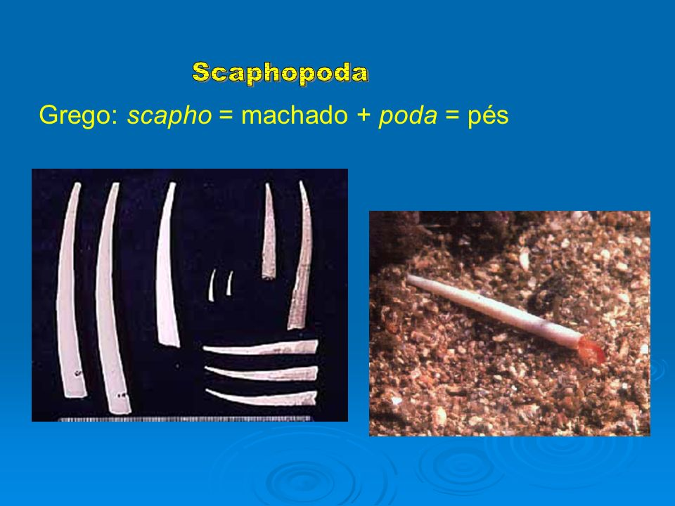 Scaphopoda Grego: scapho = machado + poda = pés