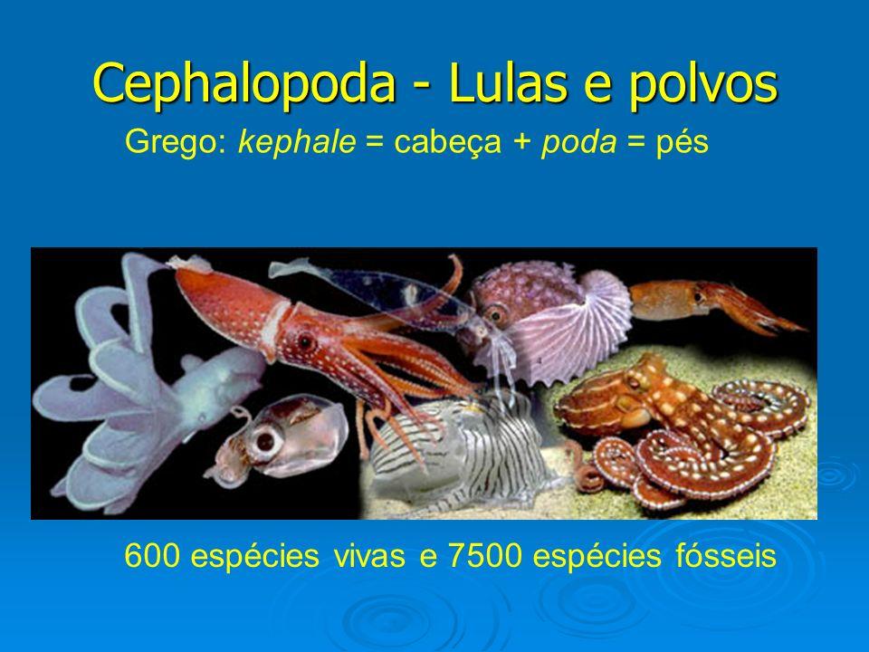 Cephalopoda - Lulas e polvos