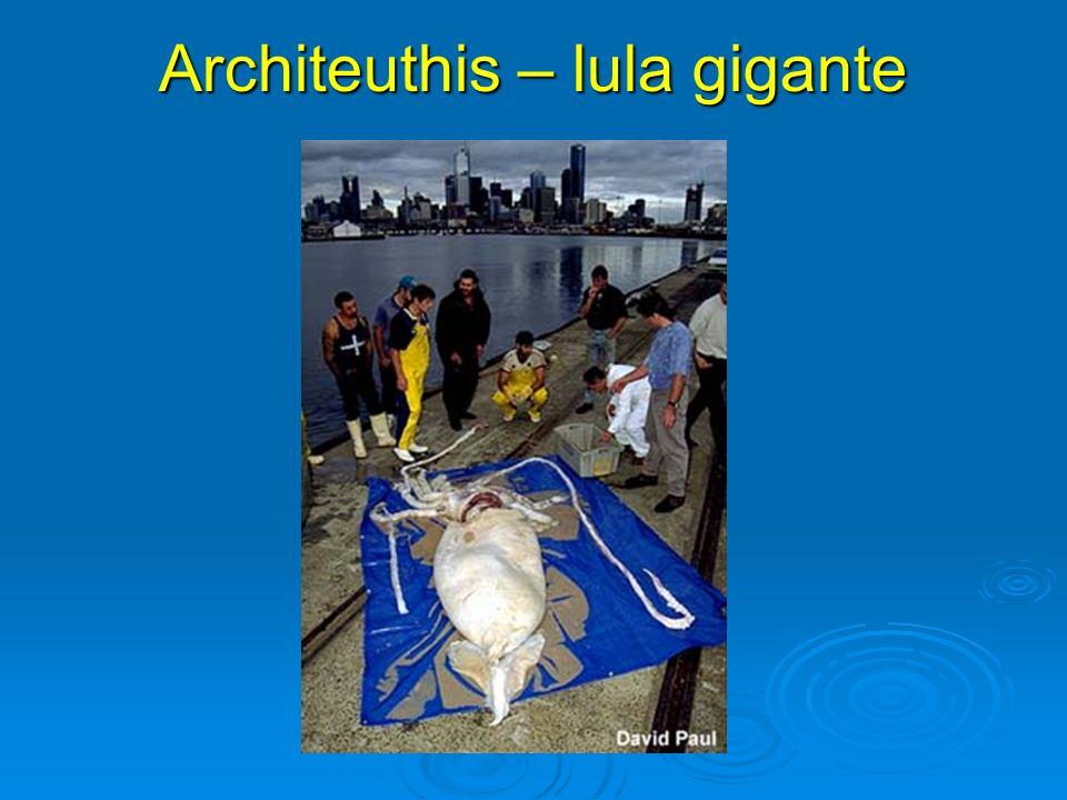 Architeuthis – lula gigante