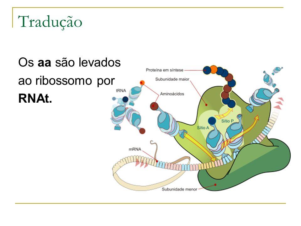 Tradução Os aa são levados ao ribossomo por RNAt.