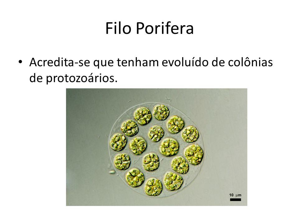 Filo Porifera Acredita-se que tenham evoluído de colônias de protozoários.