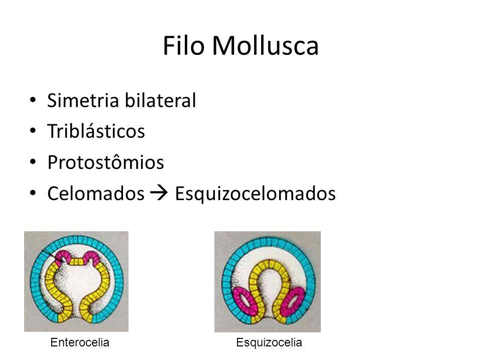 Filo Mollusca Simetria bilateral Triblásticos Protostômios