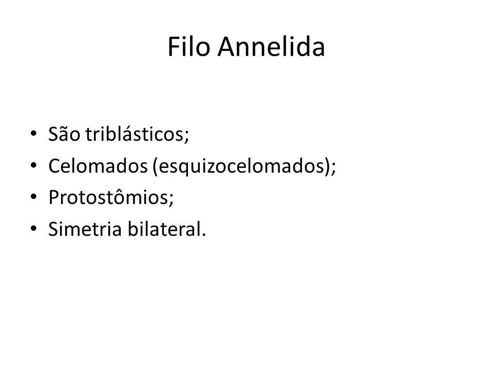 Filo Annelida São triblásticos; Celomados (esquizocelomados);