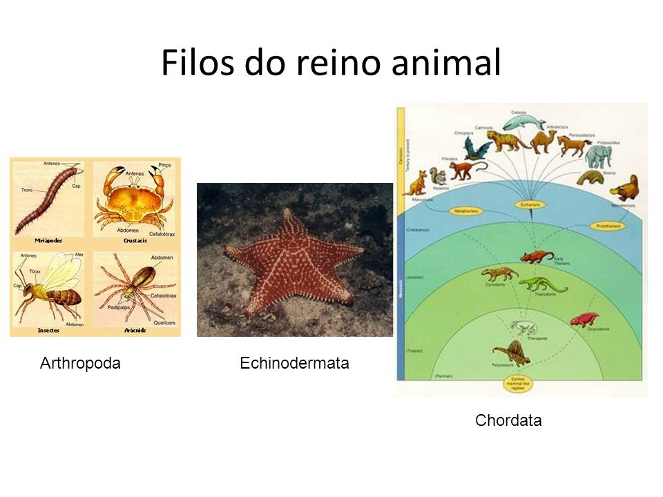Filos do reino animal Arthropoda Echinodermata Chordata