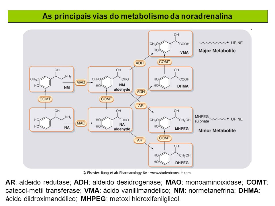 As principais vias do metabolismo da noradrenalina