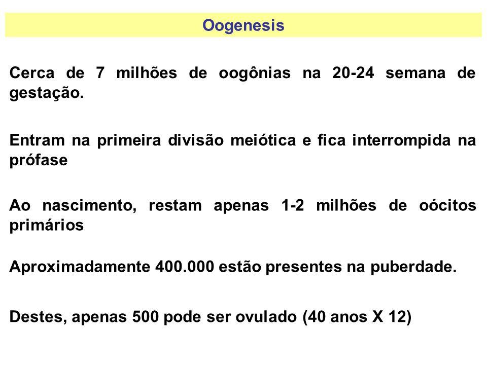 Oogenesis Cerca de 7 milhões de oogônias na 20-24 semana de gestação. Entram na primeira divisão meiótica e fica interrompida na prófase.
