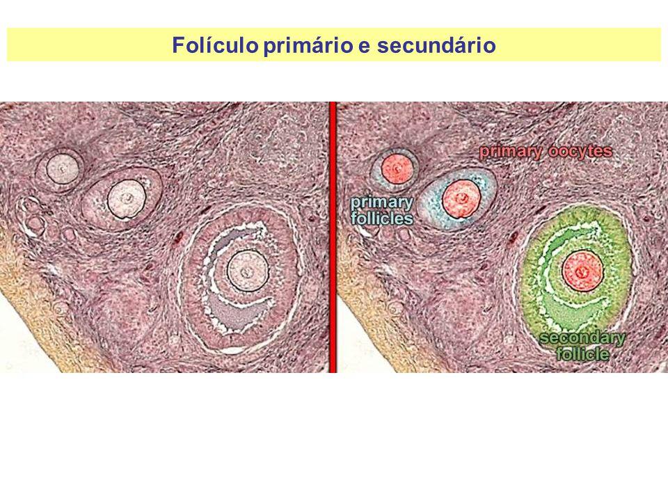 Folículo primário e secundário