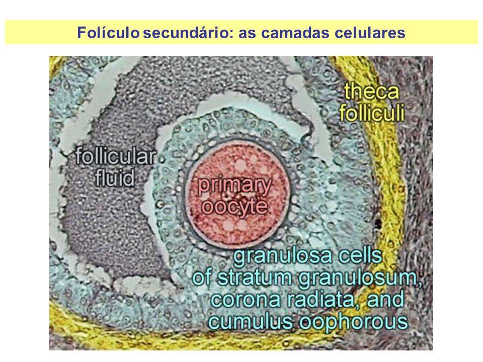Folículo secundário: as camadas celulares