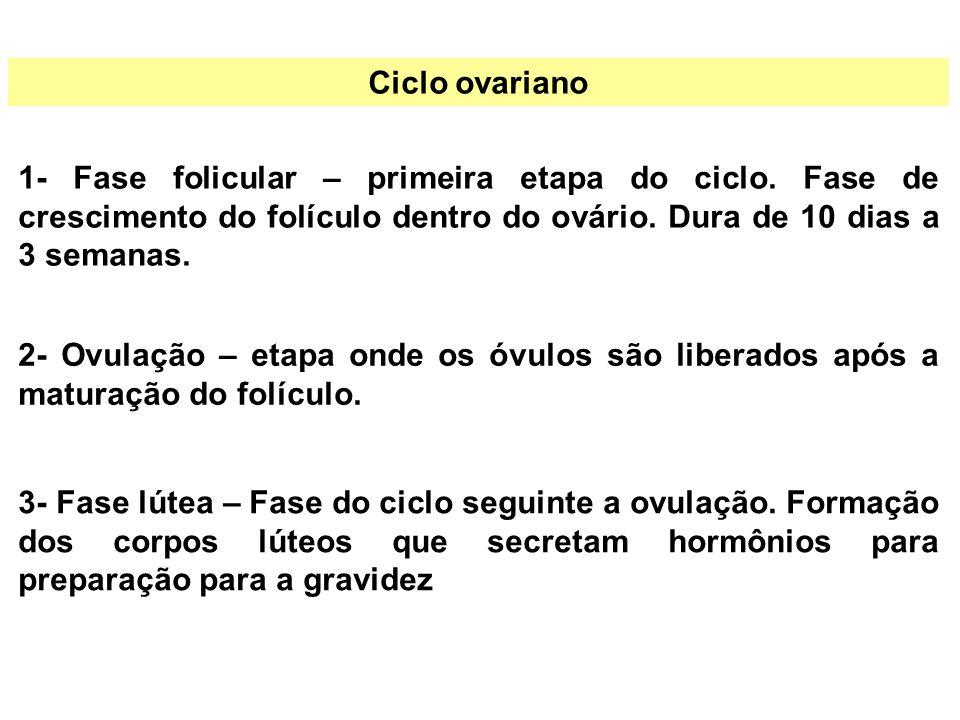 Ciclo ovariano 1- Fase folicular – primeira etapa do ciclo. Fase de crescimento do folículo dentro do ovário. Dura de 10 dias a 3 semanas.