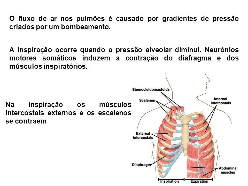 O fluxo de ar nos pulmões é causado por gradientes de pressão criados por um bombeamento.