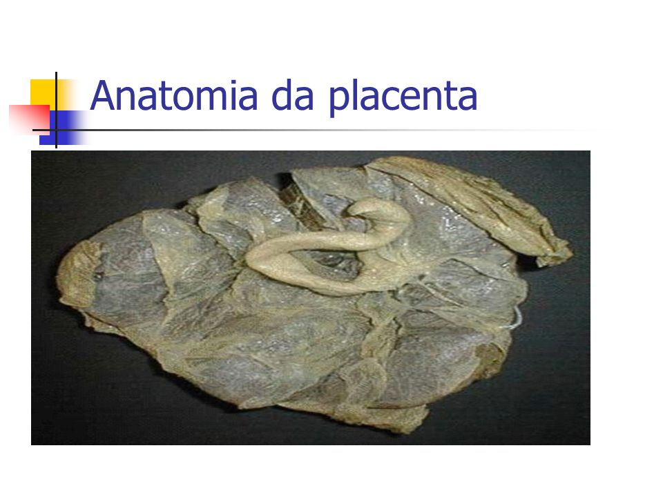 Anatomia da placenta