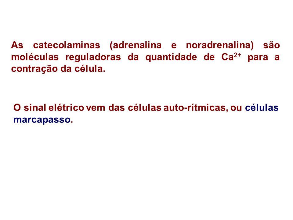 As catecolaminas (adrenalina e noradrenalina) são moléculas reguladoras da quantidade de Ca2+ para a contração da célula.