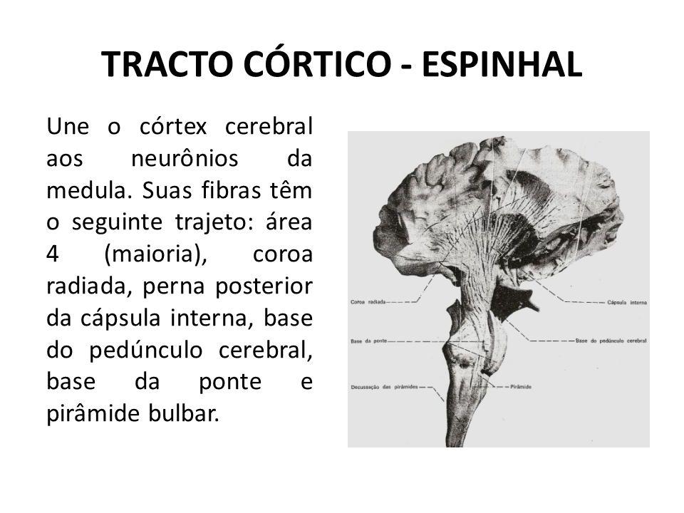 TRACTO CÓRTICO - ESPINHAL