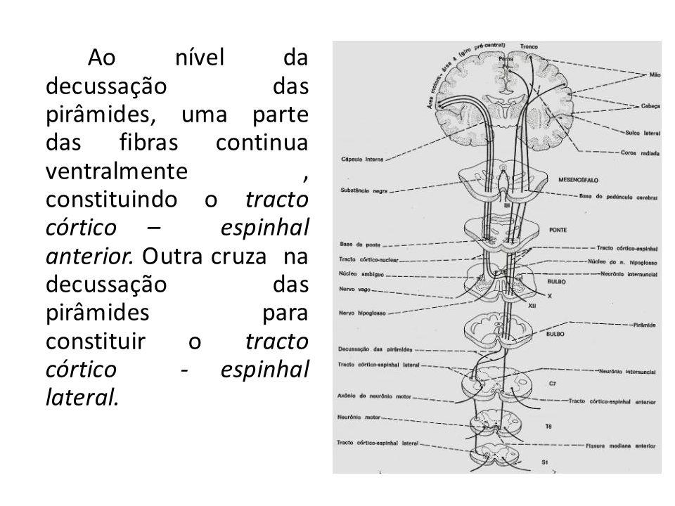 Ao nível da decussação das pirâmides, uma parte das fibras continua ventralmente , constituindo o tracto córtico – espinhal anterior. Outra cruza na decussação das pirâmides para constituir o tracto córtico - espinhal lateral.