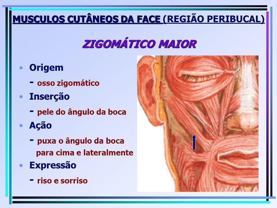 MUSCULOS CUTÂNEOS DA FACE (REGIÃO PERIBUCAL) ZIGOMÁTICO MAIOR