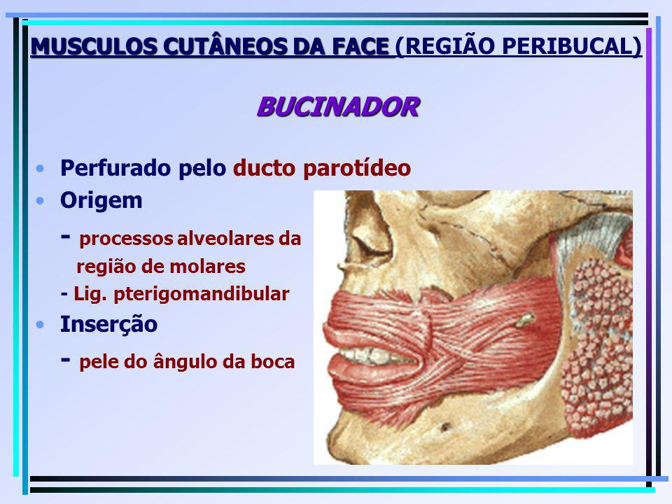MUSCULOS CUTÂNEOS DA FACE (REGIÃO PERIBUCAL) BUCINADOR