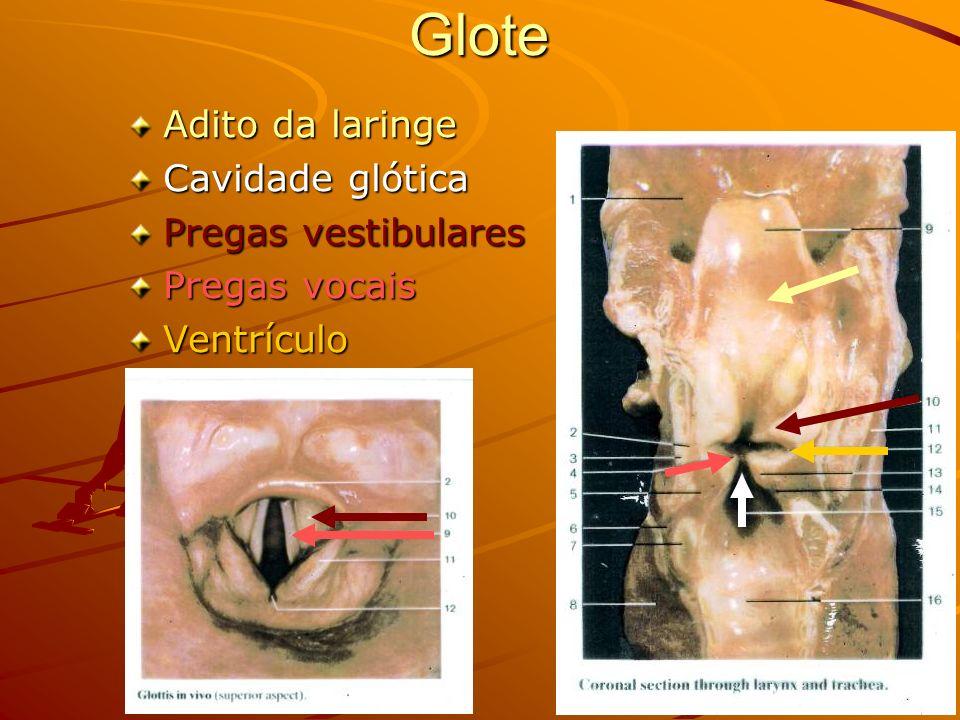 Glote Adito da laringe Cavidade glótica Pregas vestibulares