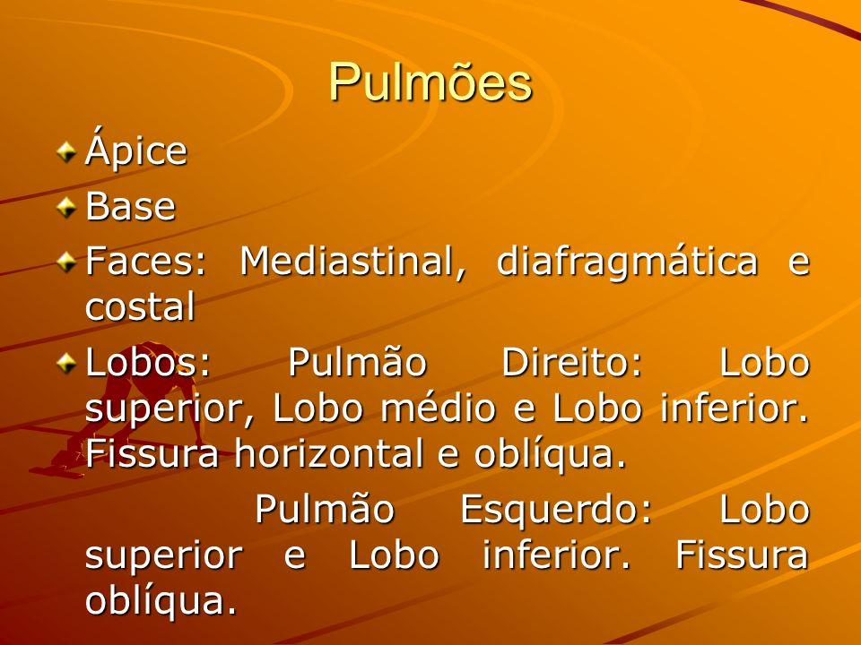 Pulmões Ápice Base Faces: Mediastinal, diafragmática e costal