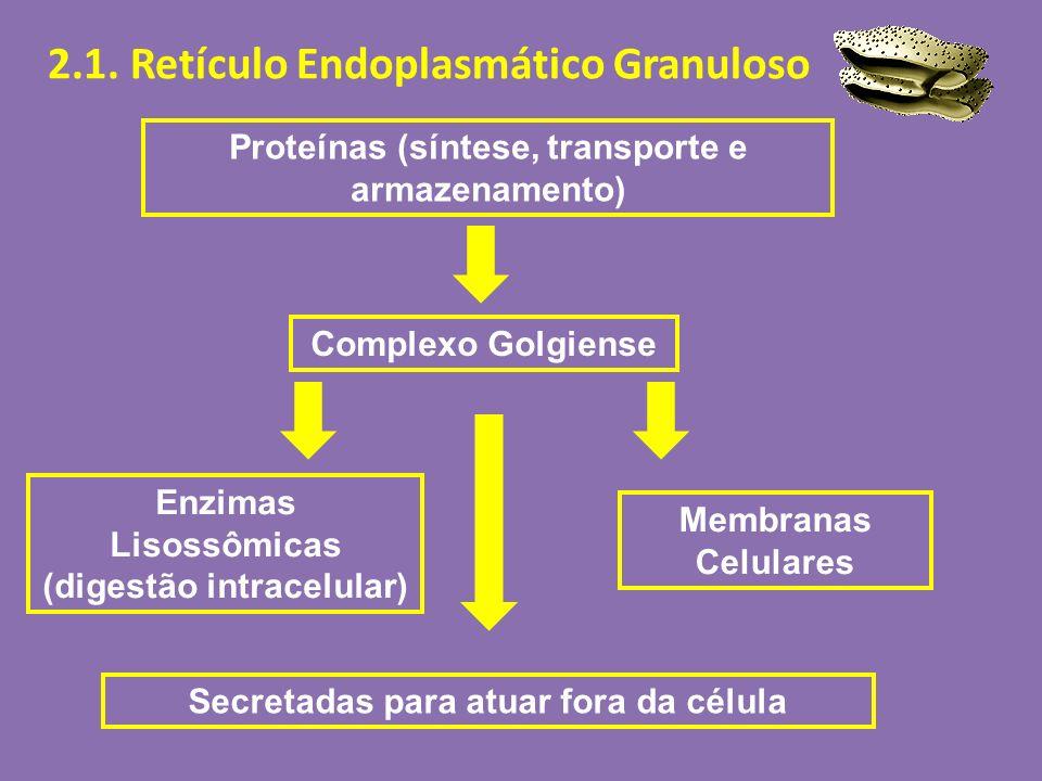 2.1. Retículo Endoplasmático Granuloso