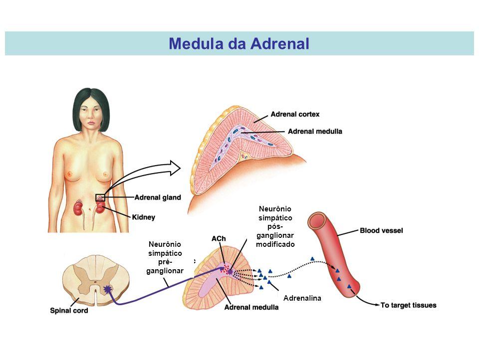Medula da Adrenal Neurônio simpático pós-ganglionar modificado