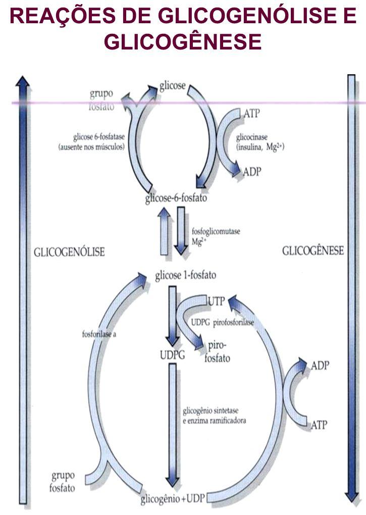 REAÇÕES DE GLICOGENÓLISE E GLICOGÊNESE