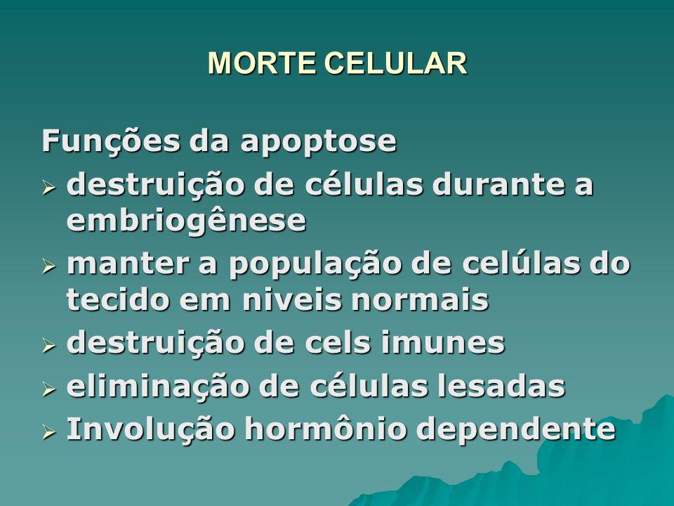 MORTE CELULAR Funções da apoptose. destruição de células durante a embriogênese. manter a população de celúlas do tecido em niveis normais.