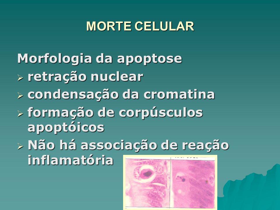 MORTE CELULAR Morfologia da apoptose. retração nuclear. condensação da cromatina. formação de corpúsculos apoptóicos.