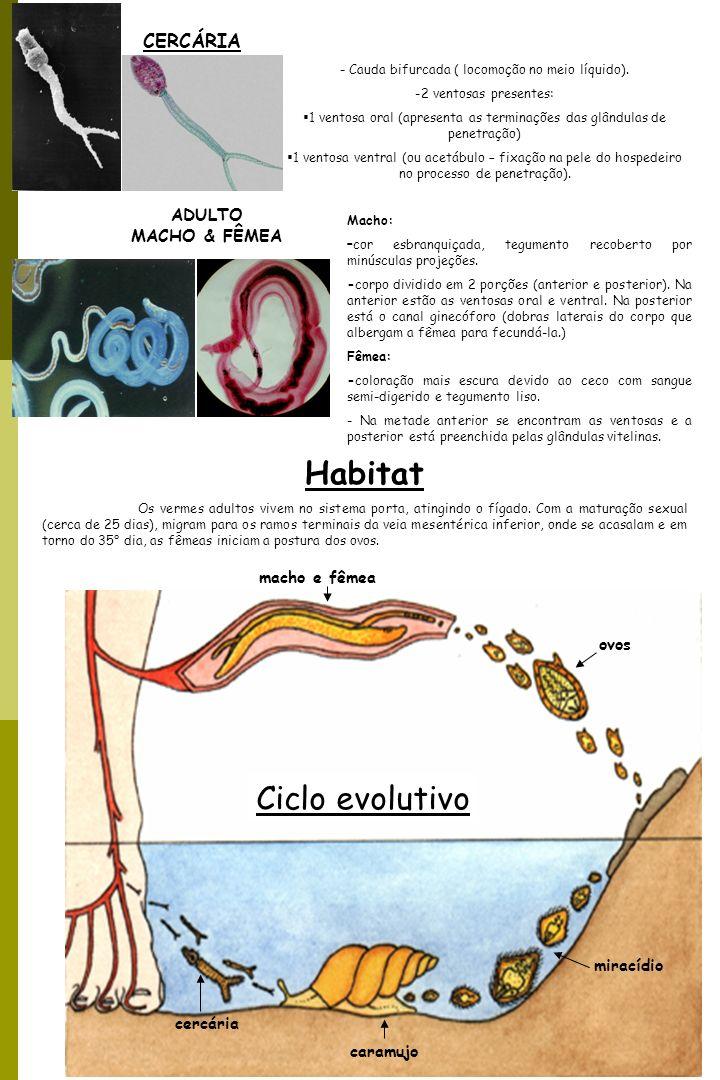Habitat Ciclo evolutivo CERCÁRIA ADULTO MACHO & FÊMEA macho e fêmea