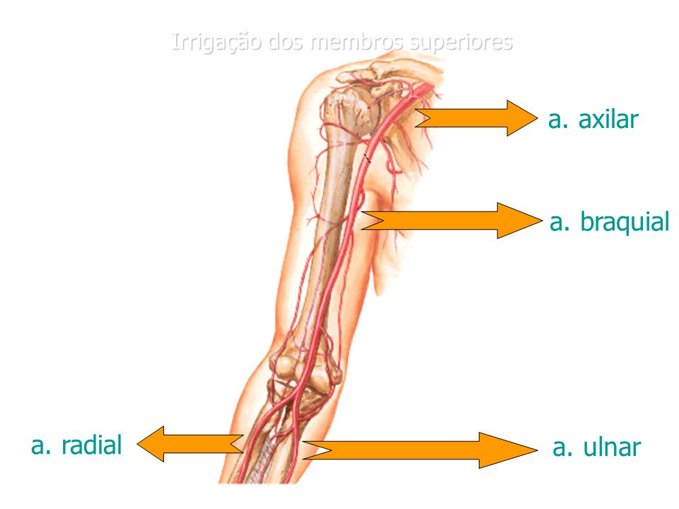 a. axilar a. braquial a. radial a. ulnar