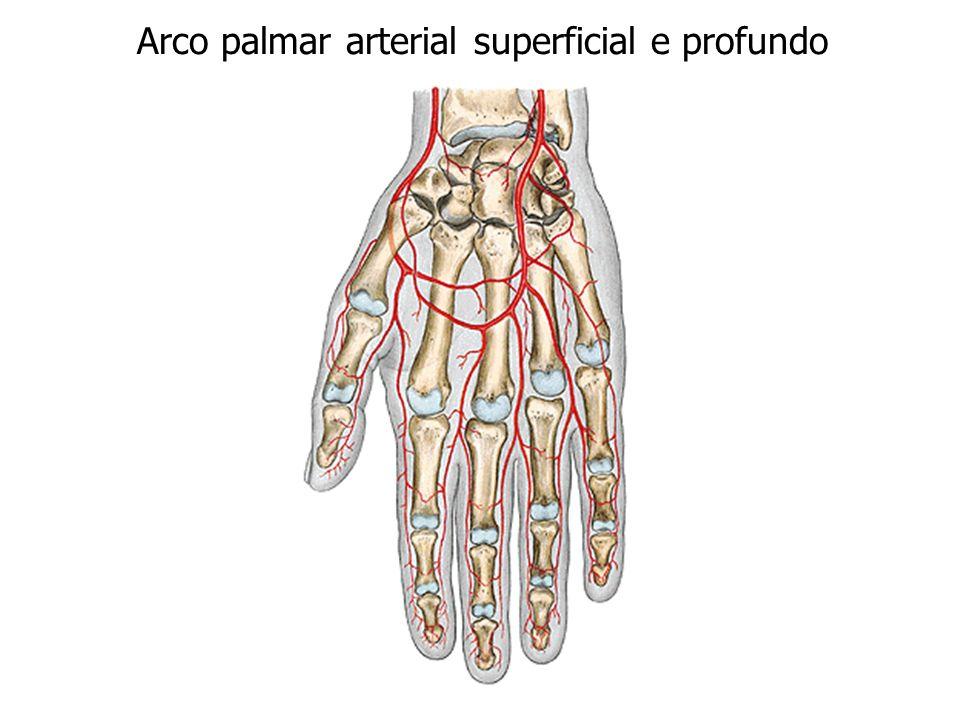 Arco palmar arterial superficial e profundo