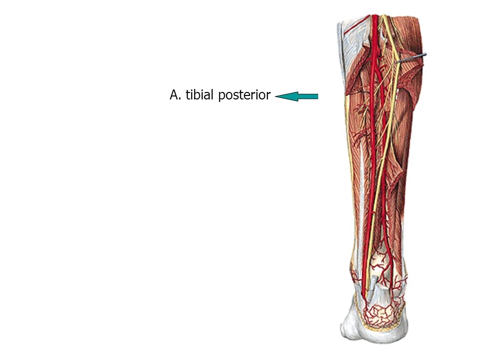 A. tibial posterior