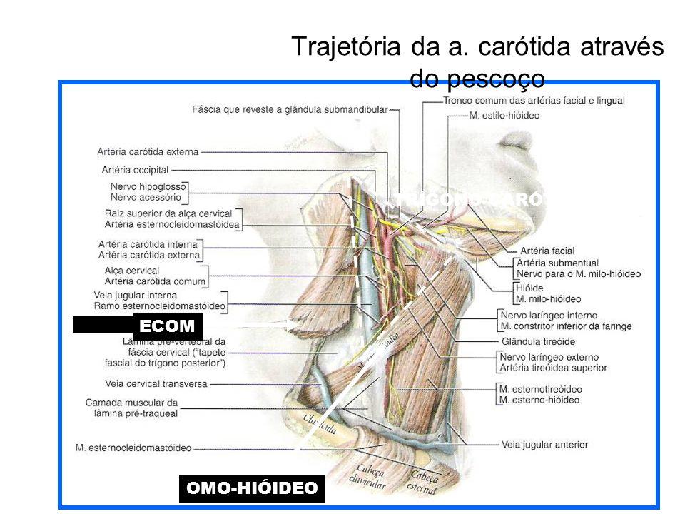 Trajetória da a. carótida através do pescoço