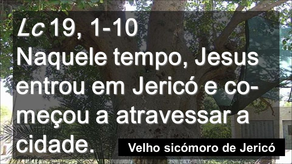 Velho sicómoro de Jericó
