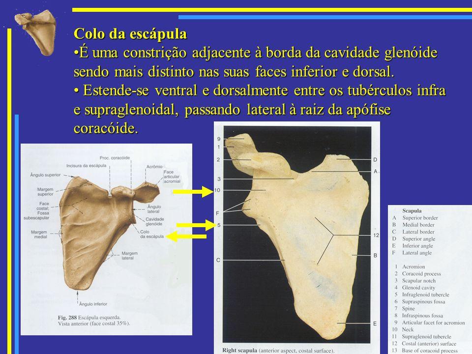 Colo da escápula É uma constrição adjacente à borda da cavidade glenóide sendo mais distinto nas suas faces inferior e dorsal.