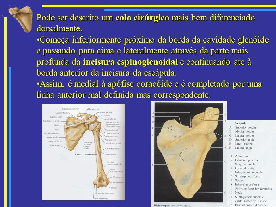 Pode ser descrito um colo cirúrgico mais bem diferenciado dorsalmente.
